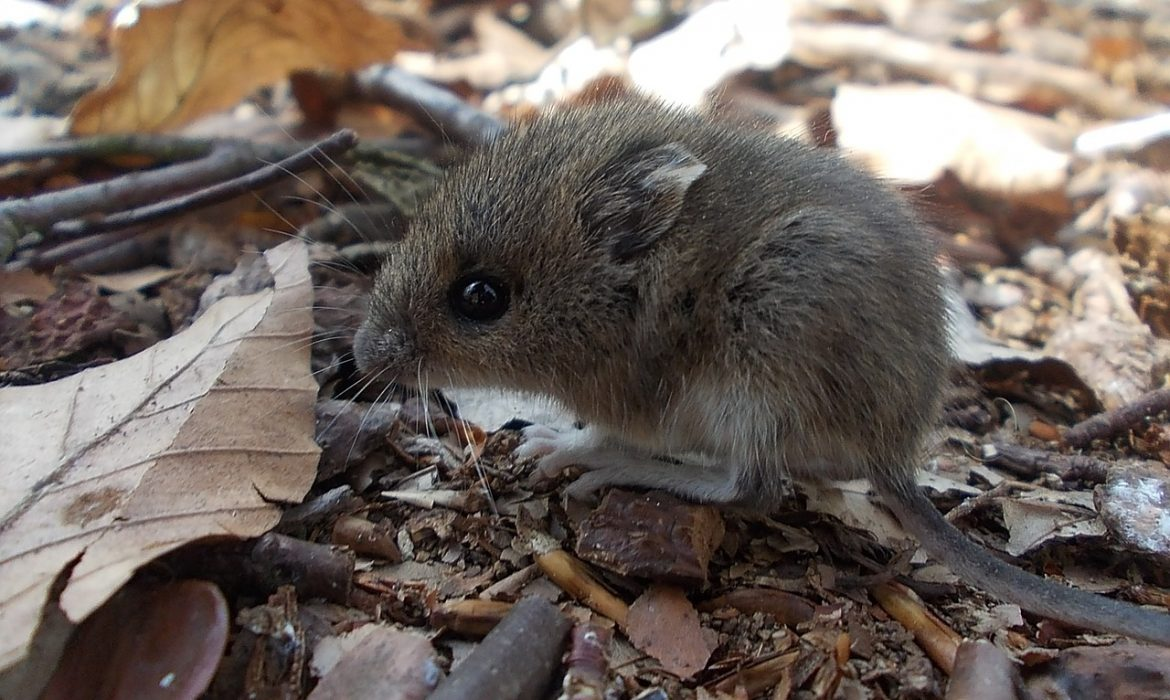 field mouse, rodent, critter